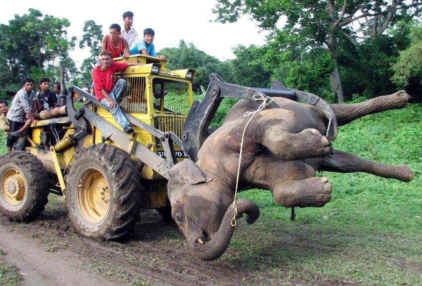 В Азии слоны и люди убивают друг друга