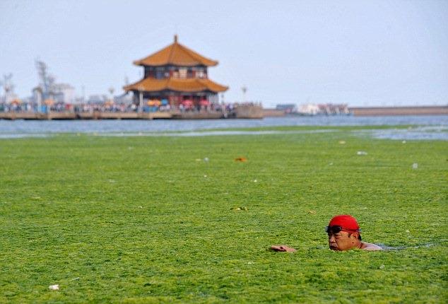 Фото дня: зеленые водоросли атаковали Китай