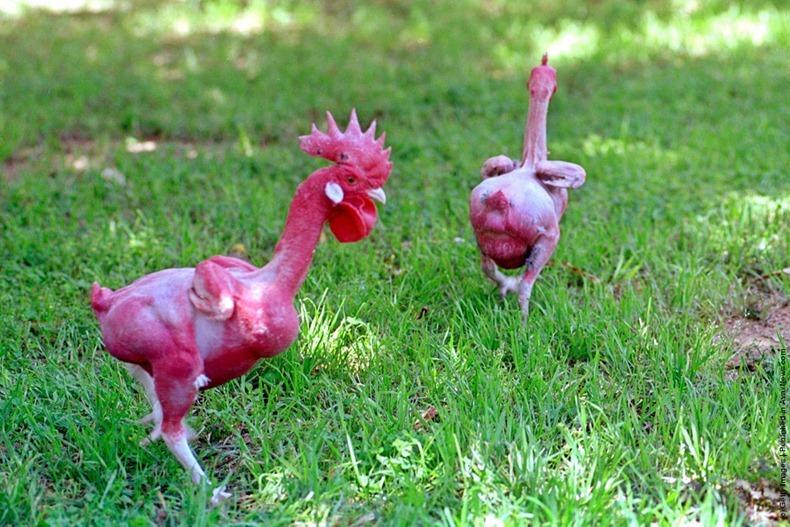 В Израиле изобрели курицу без перьев