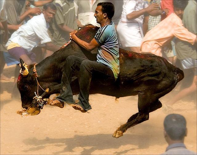 Фото недели: бег с быками на празднике Понгал в Индии