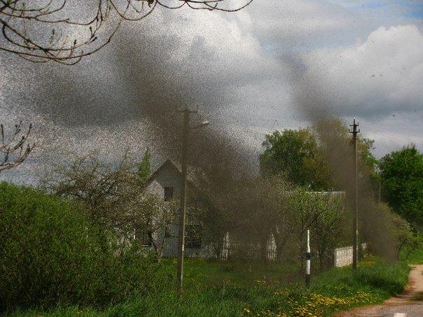 Белоруссия: комариный рай