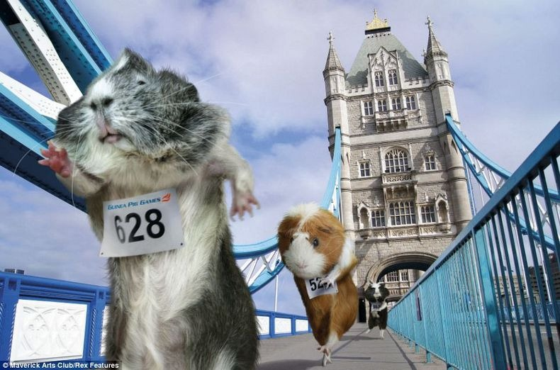 Лондонская олимпиада морских свинок