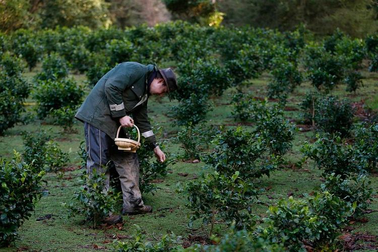 В Англии начинают выращивать чай