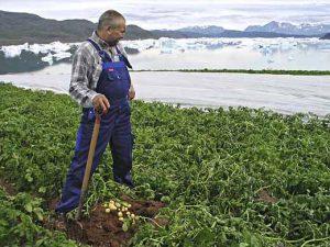 гренландия-картошка